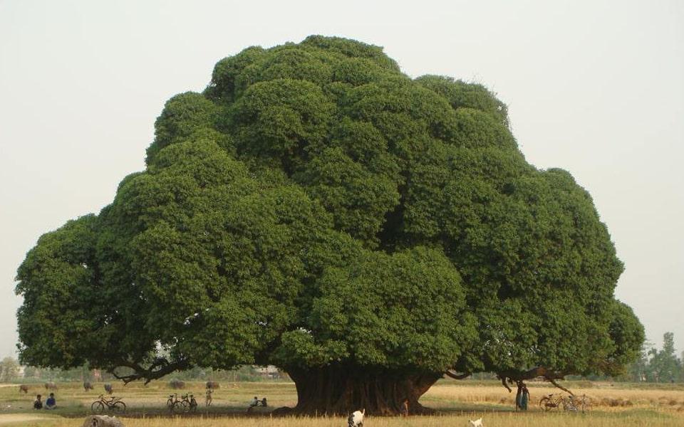 The Mystic Tree of Devdaha